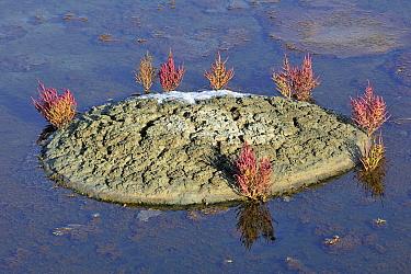 Marsh samphire (Salicornia europaea) growing in salt pan for the production of Fleur de sel, sea salt on the island Ile de Re, Charente-Maritime, France  -  Philippe Clement/ npl