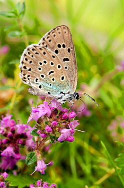 Large blue butterfly (Maculinea arion) feeding on Wild thyme, Somerset, UK, July  -  Andy Sands/ npl