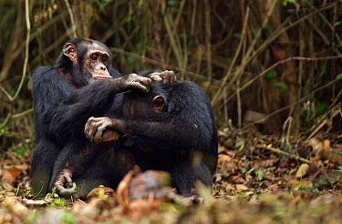 Western chimpanzee (Pan troglodytes verus) male 'Tua' aged 53 years grooming young male 'Jeje' aged 13 years while he cracks palm oil nuts using rocks as tools, Bossou Forest, Mont Nimba, Guinea Decem...  -  Anup Shah/ npl