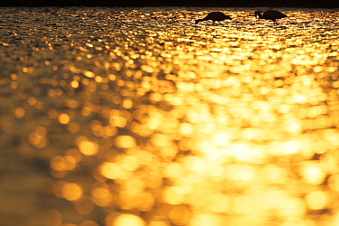 Spoonbills (Platalea leucorodia) Danube Delta, Romania, May Exclusive Japanese calendar rights for 2014  -  WWE/ Presti/ npl