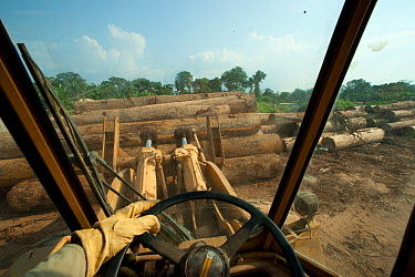 Large-scale hardwood timber extraction with hardwood logs being readied for loading onto railway trucks that will collect timber from lumber yard located inside the Lope National Park Onward shipment...  -  Jabruson/ npl