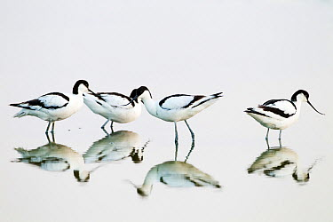 Avocet (Recurvirostra avocetta) group of four foraging in water, Wagejot reserve, Texel Island, Wadden sea, The Netherlands, May  -  David Pattyn/ npl