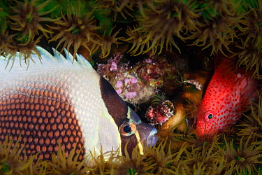 Pixy hawkfish (Cirrhitichthys oxycephalus) and Reticulated butterflyfish (Chaetodon reticulatus) hiding in coral, Palau, Micronesia  -  Michele Westmorland/ npl