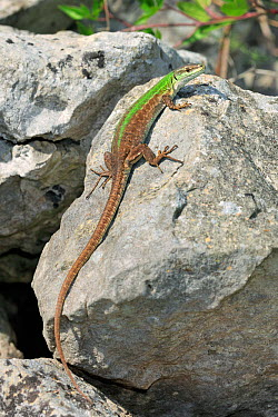 Italian wall lizard (Podarcis siculus) north of San Nicandro Garganico, Gargano, Italy, April  -  Robert Thompson/ npl