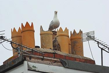 Herring gull (Larus argentatus) adult with chick amongst chimneys, on rooftop, Bridgewater, UK, June  -  Jim Hallett/ npl