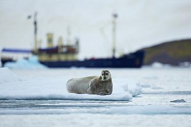 Bearded seal (Erignathus barbatus) resting on ice-floe and Expedition cruise ship M, S Stockholm close to Lamoteoya, Svalbard, Norway, July 2012  -  Florian Mollers/ npl