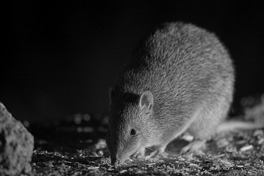 Southern Brown Bandicoot (Isoodon obesulus) at night, taken with infra red camera, Mt Rothwell, Victoria, Australia, October  -  Mark MacEwen/ npl