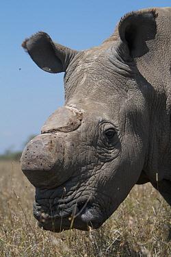 Northern white, square-lipped rhinoceros (Ceratotherium simum cottoni) dehorned, in grass, Ol Pejeta Conservancy, Kenya, Africa  -  Mark MacEwen/ npl