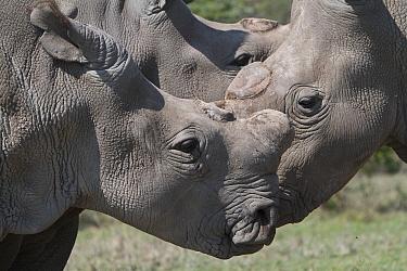 Group of three Northern white rhinoceros, square-lipped rhinoceros (Ceratotherium simum cottoni) all dehorned, Ol Pejeta Conservancy, Kenya, Africa  -  Mark MacEwen/ npl