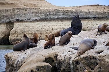South American sea lion (Otaria flavescens) group on coast, Golfo Nuevo, Peninsula Valdes UNESCO Natural World Heritage Site, Chubut, Patagonia, Argentina, October  -  Franco Banfi/ npl
