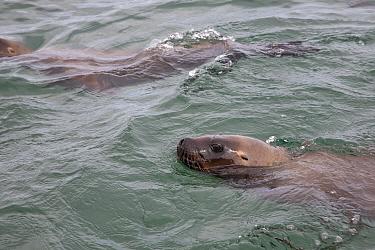 South American sea lion (Otaria flavescens) swimming at the surface, Golfo Nuevo, Peninsula Valdes UNESCO Natural World Heritage Site, Chubut, Patagonia, Argentina, Atlantic Ocean, October  -  Franco Banfi/ npl