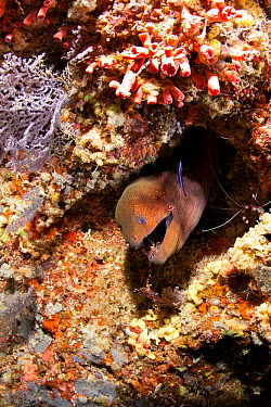 Giant moray (Gymnothorax javanicus) with Rock shrimp, Urocaridella sp, Maldives, Indian Ocean  -  Franco Banfi/ npl