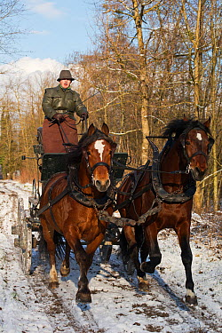 Two Franches Montagnes (Freiberger) Horse stallions 'Hombre' (left) and 'Natif' with traditional Grison harness, pull a Bern car at the National Stud of Avenches, in the canton of Vaud, Switzerland  -  Kristel Richard/ npl