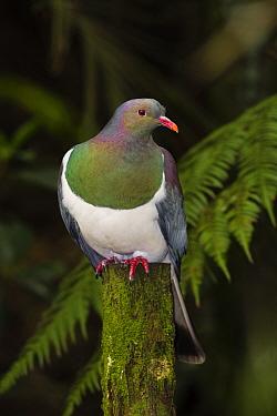 New Zealand Pigeon (Hemiphaga novaeseelandiae) perched on moss cover stump, endemic to New Zealand Waikato, North Island, New Zealand, November  -  Andy Trowbridge/ npl