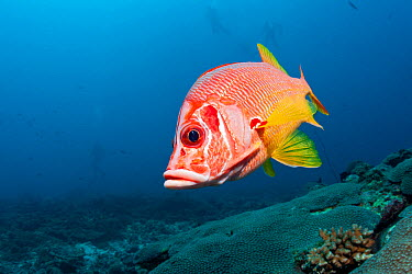 Long jawed, Sabre squirrelfish (Sargocentrum spiniferum) over the reef, Maldives, Indian Ocean  -  Franco Banfi/ npl