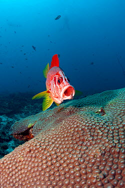 Long jawed, Sabre squirrelfish (Sargocentrum spiniferum) approaching cleaning station with mouth open, Maldives, Indian Ocean  -  Franco Banfi/ npl