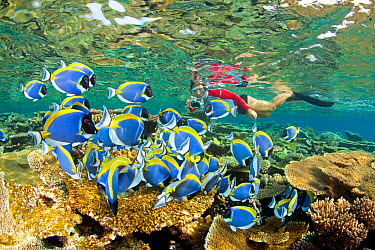 Shoal of Powder blue surgeonfish (Acanthurus leucosternon) swimming over reef, with snorkeller in background, Maldives, Indian Ocean  -  Franco Banfi/ npl