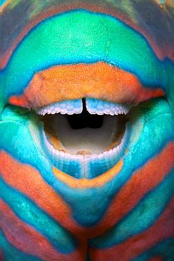 Bridled parrotfish (Scarus frenatus) clownish grin reveals its power tools: grinding teeth used to scrape algae from rock, Maldives, Indian Ocean  -  Franco Banfi/ npl