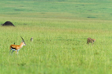Cheetah (Acinonyx jubatus) walking in front of a Black backed jackal (Canis mesomelas) and a Thomson's gazelle (Eudorcas thomsoni) Masai-Mara Game Reserve, Kenya Vulnerable species  -  Denis Huot/ npl