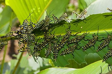 Grasshopper nymphs (Tropidacris cristata) Hacienda Baru, Costa Rica  -  Denis Huot/ npl