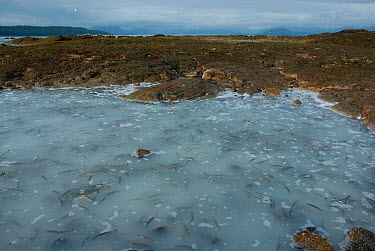 Pacific Herring (Clupea pallasii) gather to spawn along the shoreline near Sitka, Alaska Water is milky from vast quantity of eggs and milt released  -  Barrie Britton/ npl