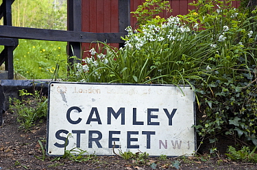 Camley Street NW1 street sign with Three-cornered Leek, Wild Onion (Allium triquetrum) at Camley Street Natural Park, Kings Cross, London Borough of Camden England, UK  -  Pat Tuson/ npl