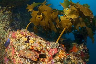 Ecklonia Kelp (Ecklonia radiata) and Spanish Lobster (Arcites antipodum) Poor Knights Islands, New Zealand, January  -  Sue Daly/ npl