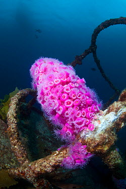 Jewel Anemones (Corynactis haddoni) colonising the wreck of HMNZS Canterbury, Bay of Islands, New Zealand, February  -  Sue Daly/ npl