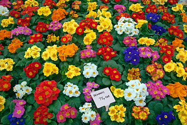 Potted Primroses for sale in garden centre, Edgefield, Norfolk, January  -  Ernie Janes/ npl
