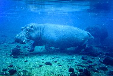 Hippopotamus (Hippopotamus amphibius) underwater, Mzima Springs, Tsavo West national park, Kenya Vulnerable species  -  Denis Huot/ npl