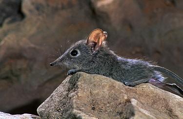 Rufous elephant shrew (Elephantulus rufescens) young, Botswana  -  Mark MacEwen/ npl
