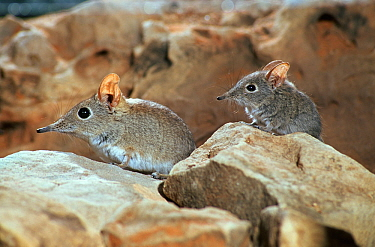 Rufous elephant shrews (Elephantulus rufescens) Botswana  -  Mark MacEwen/ npl