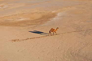 Aerial of a solitary Dromedry camel (Camelus dromedarius) crossing a claypan in the Simpson Desert Regional Reserve An estimate of 15 million wild camels roam the desert outback of Australia South Aus...  -  Jurgen Freund/ npl