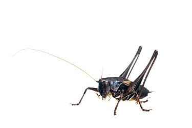 Dark Bush Cricket (Pholidoptera griseoaptera) against white background France, August  -  Niall Benvie/ npl