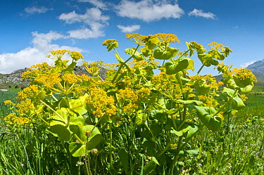 Round-leaved Alexanders (Smyrnium rotundifolium) in flower, Crete, April  -  Paul Harcourt Davies/ npl