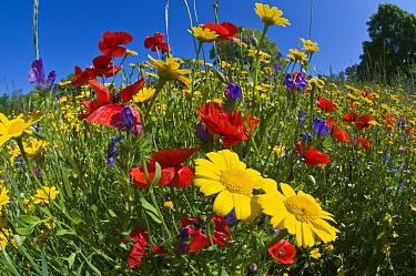 Poppies (Papaver rhoeas) with corn marigolds (Chysanthemum coronarium) growing near the military cemetry, Bolsena, Italy, May Taken with fisheye lens  -  Paul Harcourt Davies/ npl