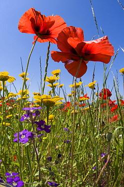 Poppies (Papaver rhoeas) with corn marigolds (Chrysanthemum coronarium) and Venus' looking glass (Legousia speculum-veneris) growing near the military cemetry, Bolsena, Italy, May  -  Paul Harcourt Davies/ npl