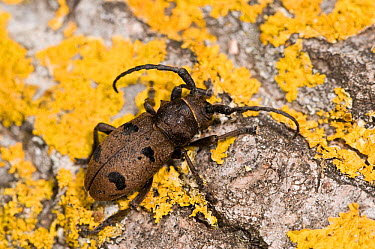 Longhorn beetle (Morimus funereus) on lichen, covered rock, Orvieto, Italy, May  -  Paul Harcourt Davies/ npl