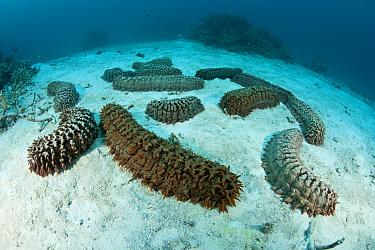 Sea cucumbers (Thelonota anax) on sandy sea floor Great Barrier Reef, Queensland, Australia  -  Jurgen Freund/ npl
