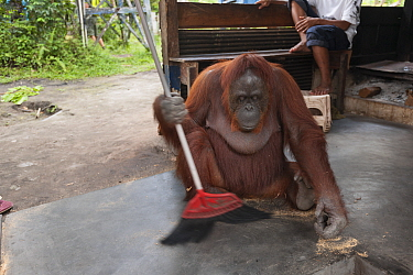 Bornean Orangutan (Pongo pygmaeus wurmbii), Siswi the Queen of the jungle of Camp Leakey saws a piece of firewood then sweeps the floor to clean away sawdust Tanjung Puting National Park, Borneo, Cent...  -  Jurgen Freund/ npl