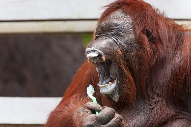 Bornean Orangutan (Pongo pygmaeus wurmbii) 'Siswi' yawning whilst brushing her teeth, a behaviour she mimics from humans, Camp Leakey, Tanjung Puting National Park, Borneo, Central Kalimantan, Indones...  -  Jurgen Freund/ npl