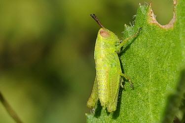Grasshopper (Aiolopus sp) nymph feeding on spiny succulent leaf Lagos, Algarve, Portugal, Jene  -  Nick Upton/ npl
