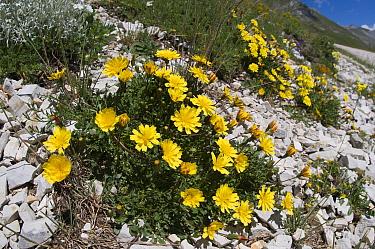 Robertia (Hypochaeris robertia, Robertia taraxoides) a in flower, Mount Vettore, Sibillini, Umbria, Italy, June  -  Paul Harcourt Davies/ npl