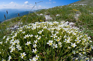 Large-flowered Sandwort (Arenaria grandiflora) photo on the route up Mount Vettore, Sibillini, Umbria, Italy, June  -  Paul Harcourt Davies/ npl