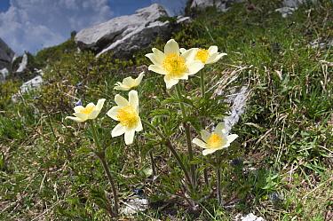 Sulphur Pasque flower (Pulsatilla alpina ssp apiifolia) in flower, Monte Spinale, alpine zone, Madonna di Campiglio, Brenta Dolomites, Italy, July  -  Paul Harcourt Davies/ npl