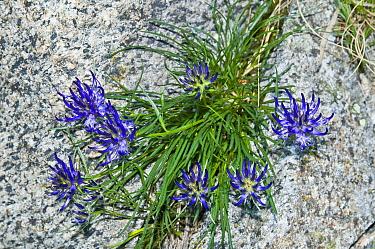 Rhaetian Rampion (Phyteuma hedraianthifolium) in flower, Brenta Adamello, Dolomites, Italy  -  Paul Harcourt Davies/ npl