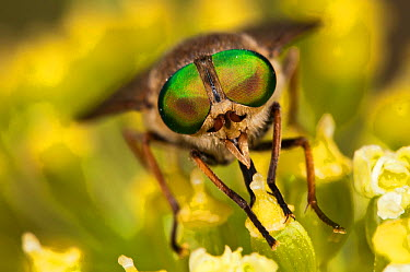 Horsefly (Tabanus bovinus) male feeding on nectar whilst the females are blood suckers, Terminillo, Rieti, Lazio, Italy  -  Paul Harcourt Davies/ npl