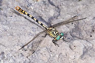 Green eyed hook tailed dragonfly (Onychogomphus forcipatus) near Lago di Bolsena, Lazio, Italy, September  -  Paul Harcourt Davies/ npl