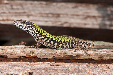Italian Wall Lizard (Podarcis sicula) adult female, Orvieto, Italy, September  -  Paul Harcourt Davies/ npl