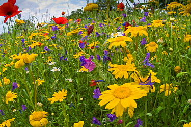 Poppies (Papaver rhoeas) and corn marigolds (Chysanthemum coronarium) growing near the military cemetry, Bolsena, April  -  Paul Harcourt Davies/ npl